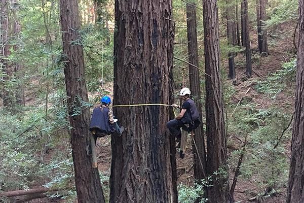Increment cores collected from redwood trunks far above the ground can help reveal a tree's age and growth history. Here HSU Professor Stephen Sillett mounts a 5-mm-diameter core to protect it for laboratory analysis. Photo by Marie Antoine.